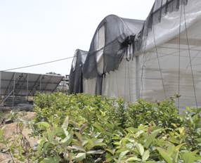 Gazas greenhouses become hot property in Egypt